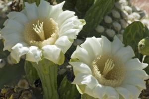 Carnegiea_gigantea_(Saguaro_cactus)_blossoms