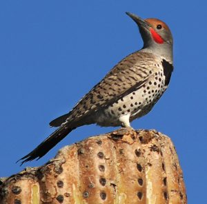 Gilded_Flicker_on_top_of_cactus