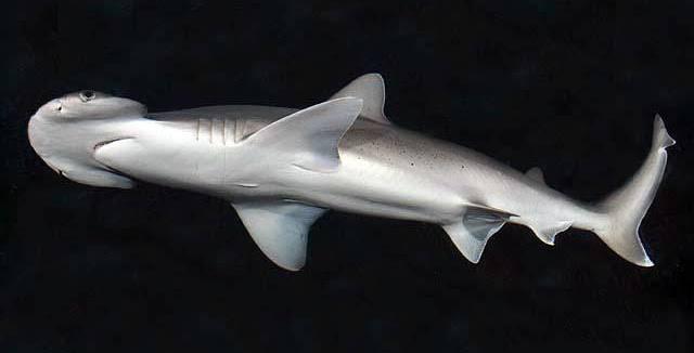 tiburo hammerhead shark